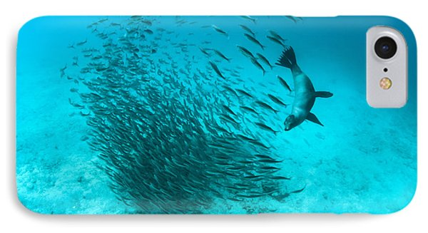 Galapagos Sea Lion Hunting Fish Rabida IPhone Case by Tui De Roy