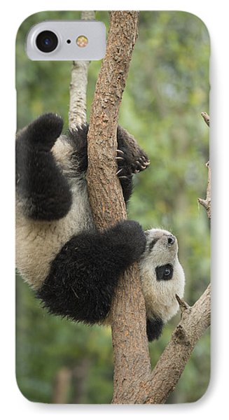 Giant Panda Cub In Tree Chengdu Sichuan IPhone 7 Case by Katherine Feng