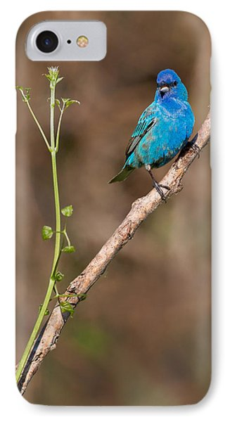 Indigo Bunting Portrait IPhone Case by Bill Wakeley