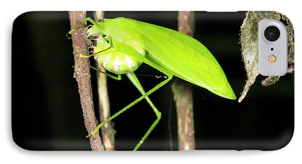 Katydid Laying Eggs IPhone 7 Case by Dr Morley Read