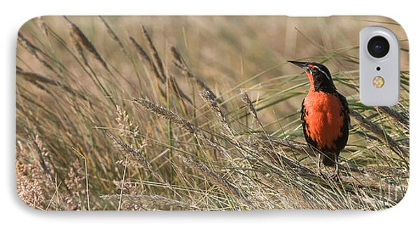 Long-tailed Meadowlark IPhone Case by John Shaw
