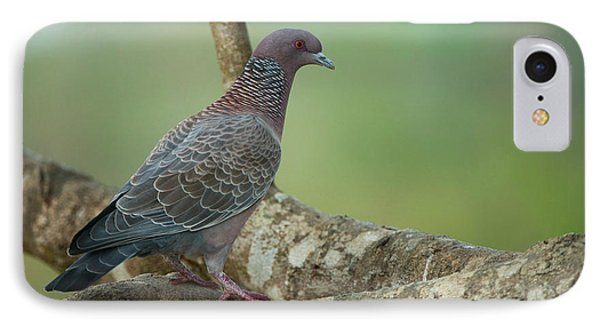Picazuro Pigeon (patagioenas Picazuro IPhone Case by Pete Oxford