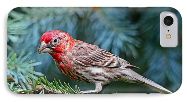 IPhone Case featuring the photograph Purple Finch In A Spruce Tree by Rodney Campbell