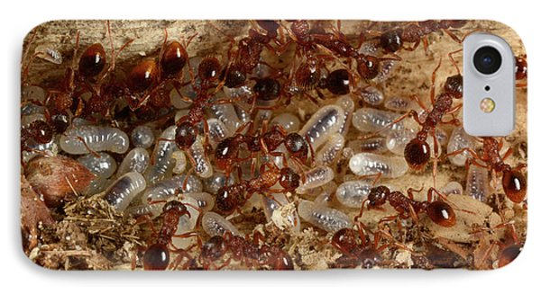 Red Ants With Larvae IPhone Case by Nigel Downer