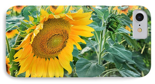 Sunflowers For Wishes IPhone Case by Bill Wakeley