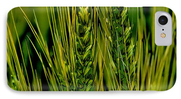 Unripened Wheat In The Palouse IPhone Case by David Patterson