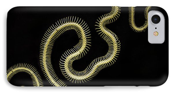 Boa Constrictor Skeleton IPhone Case by Bob Christopher