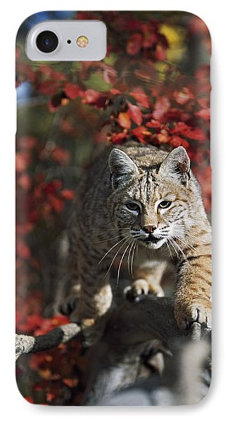 Bobcat Felis Rufus Walks Along Branch Phone Case by David Ponton