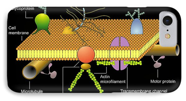 Cytoskeleton And Membrane, Diagram IPhone Case by Francis Leroy, Biocosmos