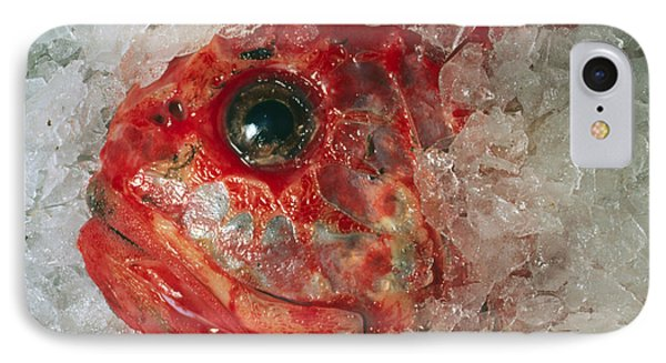 Orange Roughie Packed In Ice After Being Caught IPhone Case by Sinclair Stammers