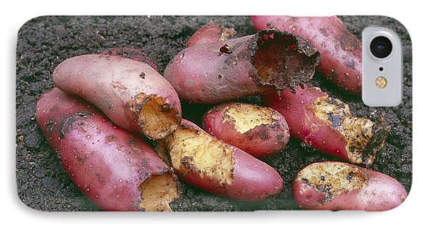 Potatoes Eaten By Pests Phone Case by Maxine Adcock