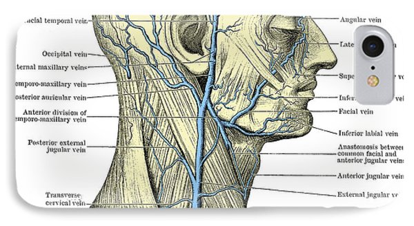 Veins Of The Head And Neck Phone Case by Science Source