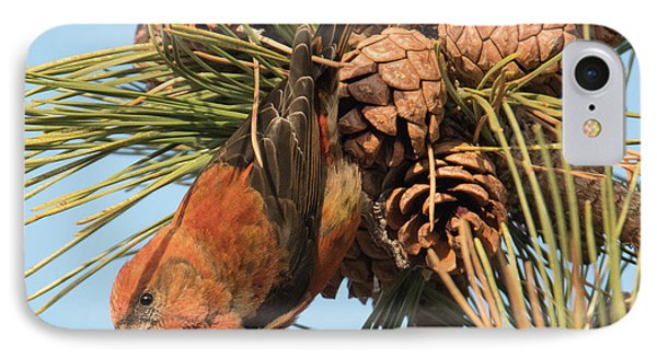 Crossbill IPhone Case by Judd Nathan