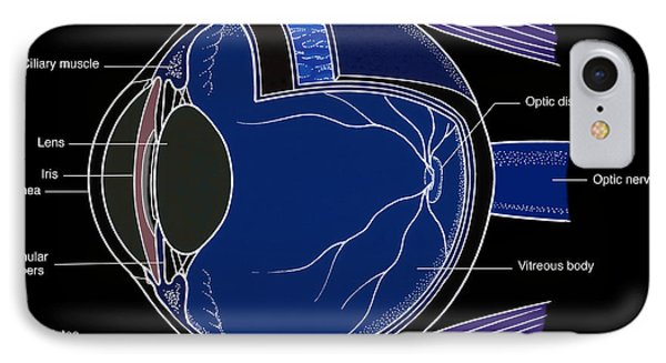Illustration Of Eye Anatomy Phone Case by Science Source