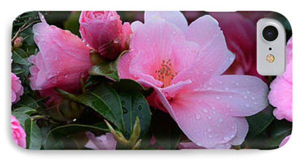 Close-up Of Pink Camellia Flowers IPhone Case by Panoramic Images