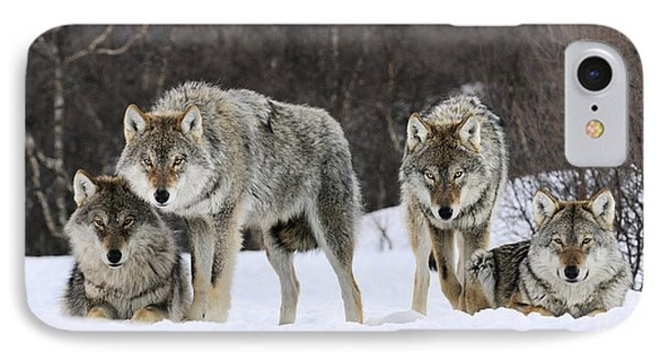 Gray Wolf Canis Lupus Group, Norway IPhone Case by Jasper Doest
