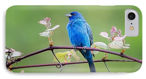 Indigo Bunting Perched IPhone Case by Bill Wakeley
