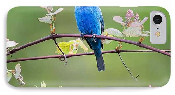 Indigo Bunting Perched Square IPhone Case by Bill Wakeley