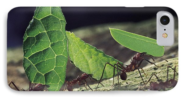 Leafcutter Ant Atta Cephalotes Workers IPhone Case by Mark Moffett