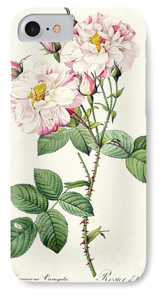 York And Lancaster Rose IPhone Case by Pierre Joseph Redoute