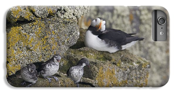 Least Auklets Perched On A Narrow Ledge IPhone 7 Plus Case by Milo Burcham