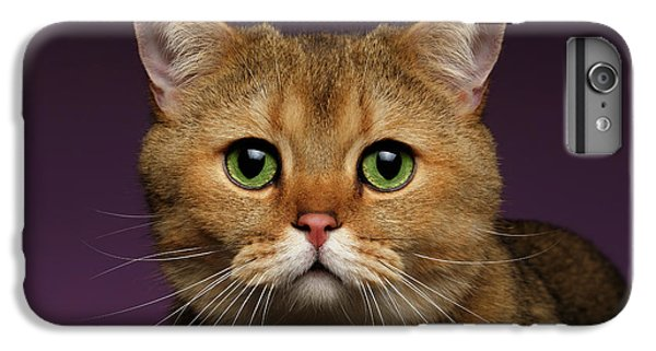Closeup Golden British Cat With  Green Eyes On Purple  IPhone 7 Plus Case by Sergey Taran