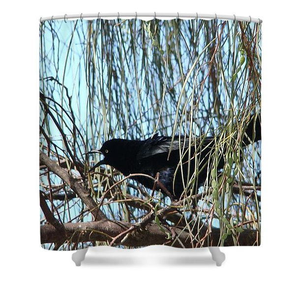 Great-tailed Grackle Shower Curtain by Beverly Guilliams