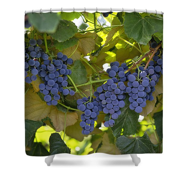 Agriculture - Concord Tablejuice Grapes Shower Curtain by Gary Holscher
