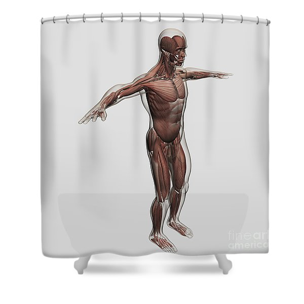Anatomy Of Male Muscular System, Side Shower Curtain by Stocktrek Images