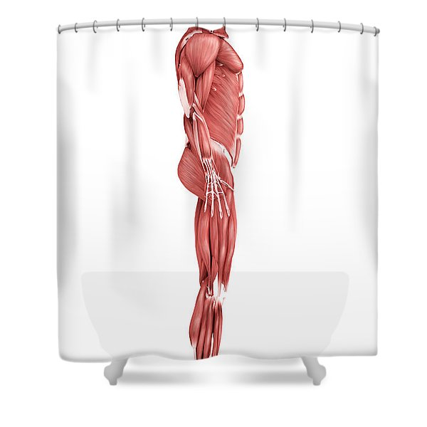 Medical Illustration Of Male Muscular Shower Curtain by Stocktrek Images