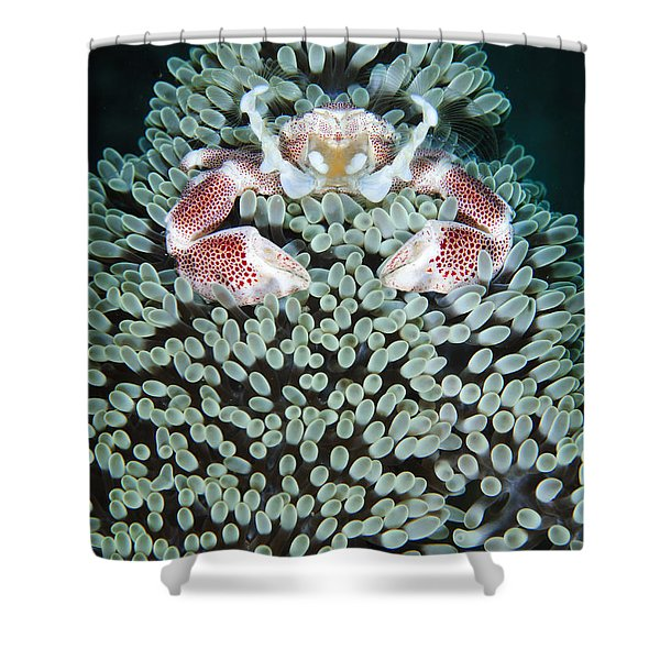 Spotted Porcelain Crab In Anemone Shower Curtain by Steve Jones