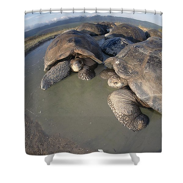 Volcan Alcedo Giant Tortoises Wallowing Shower Curtain by Tui De Roy
