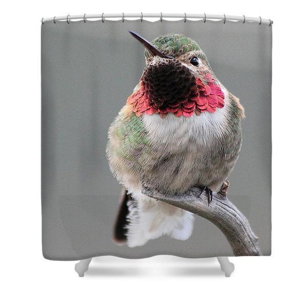 Broad-tailed Hummingbird Shower Curtain by Shane Bechler