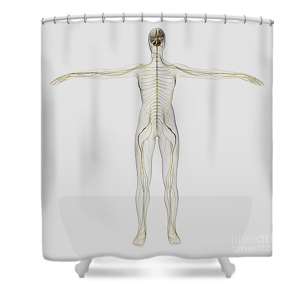 Medical Illustration Of The Human Shower Curtain by Stocktrek Images