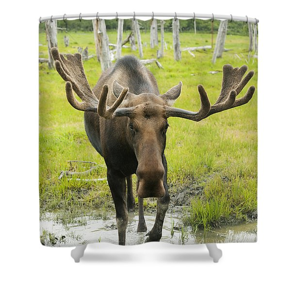 An Elk Standing In A Puddle Of Water Shower Curtain by Doug Lindstrand
