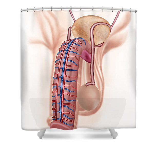 Anatomy Of Male Reproductive Organs Shower Curtain by Stocktrek Images