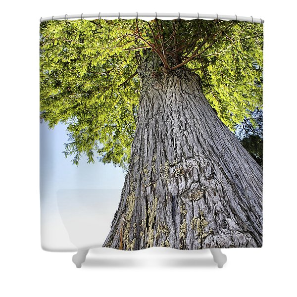 Bald Cypress in Morning Light Shower Curtain by Jason Politte