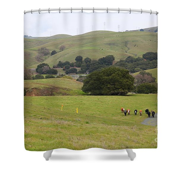 Cattles at Fernandez Ranch California - 5D21061 Shower Curtain by Wingsdomain Art and Photography