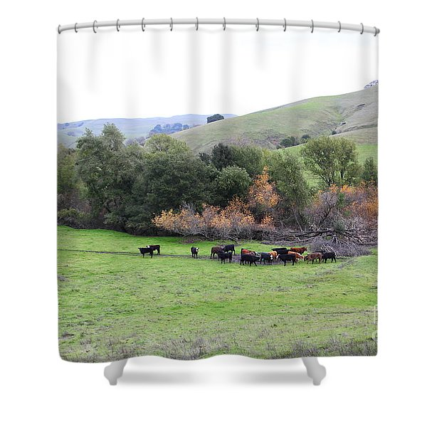 Cattles at Fernandez Ranch California - 5D21070 Shower Curtain by Wingsdomain Art and Photography