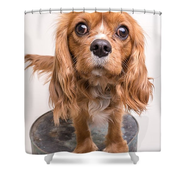 Cavalier King Charles Spaniel Puppy Shower Curtain by Edward Fielding