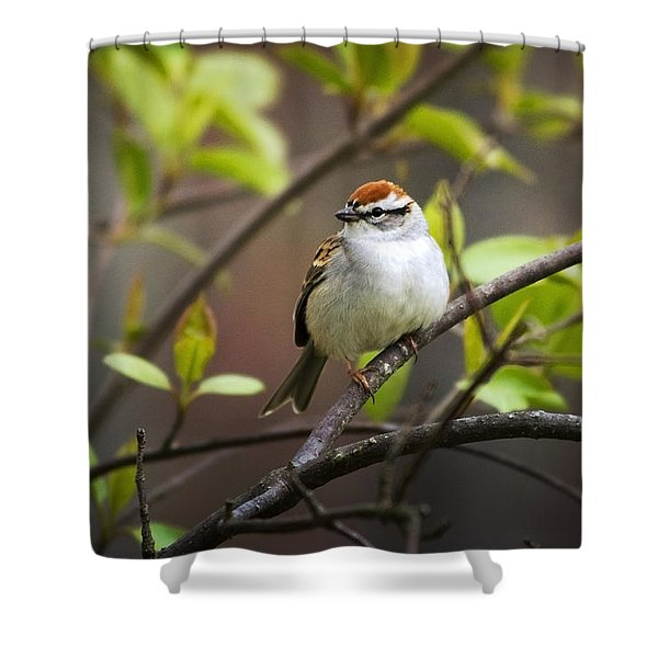 Chipping Sparrow Shower Curtain by Christina Rollo