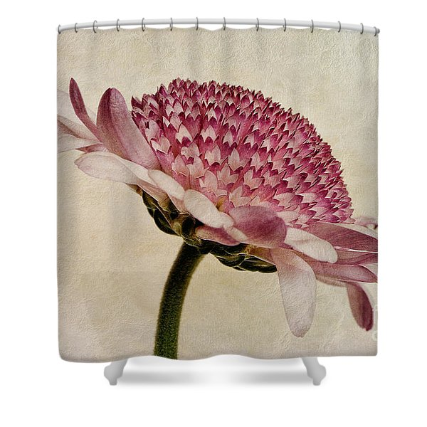 Chrysanthemum Domino Pink Shower Curtain by John Edwards
