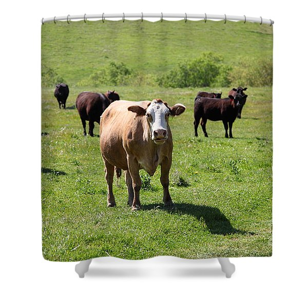Cows Along The Rolling Hills Landscape of The Black Diamond Mines in Antioch California 5D22341 Shower Curtain by Wingsdomain Art and Photography