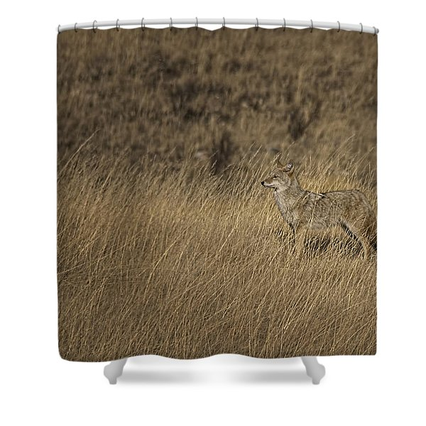 Coyote Standing In Field Of Dried Shower Curtain by Roberta Murray