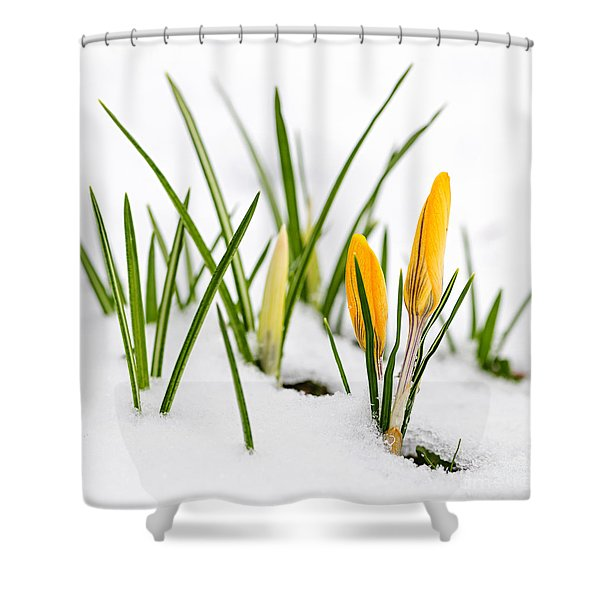 Crocuses in snow Shower Curtain by Elena Elisseeva