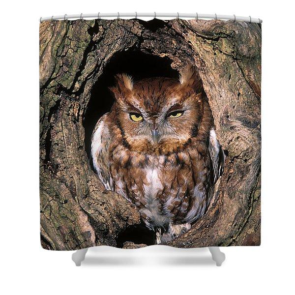 Eastern Screech Owl - FS000810 Shower Curtain by Daniel Dempster
