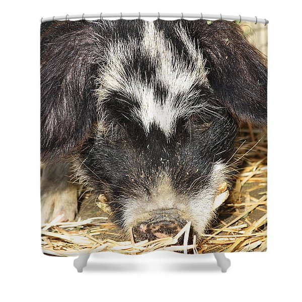 Farm Pig 7D27361 Shower Curtain by Wingsdomain Art and Photography