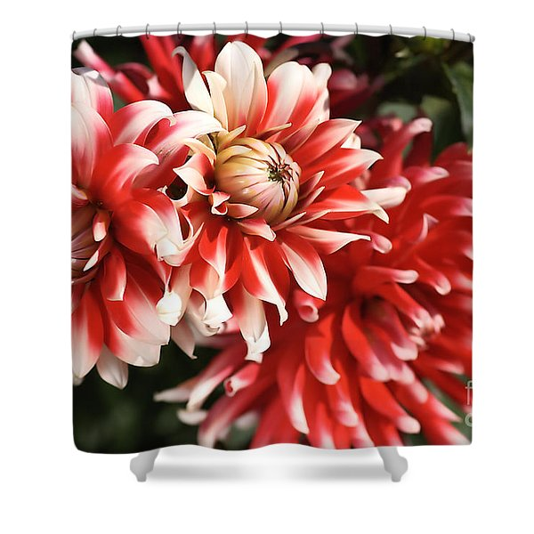 Flower-dahlia-red-white-trio Shower Curtain by Joy Watson