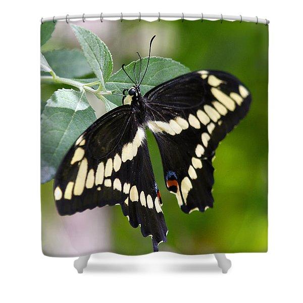 Giant Swallowtail Butterfly Shower Curtain by Saija  Lehtonen