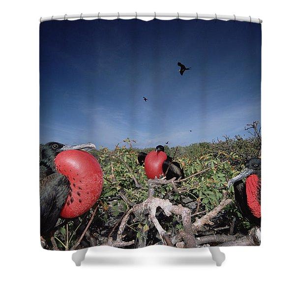 Great Frigatebird Males In Courtship Shower Curtain by Tui De Roy